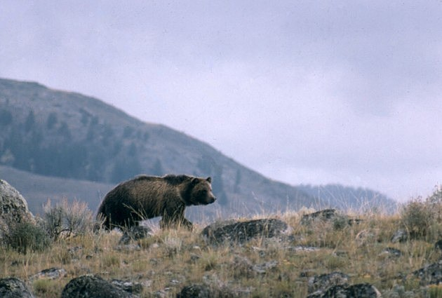 grizzly in gtnp