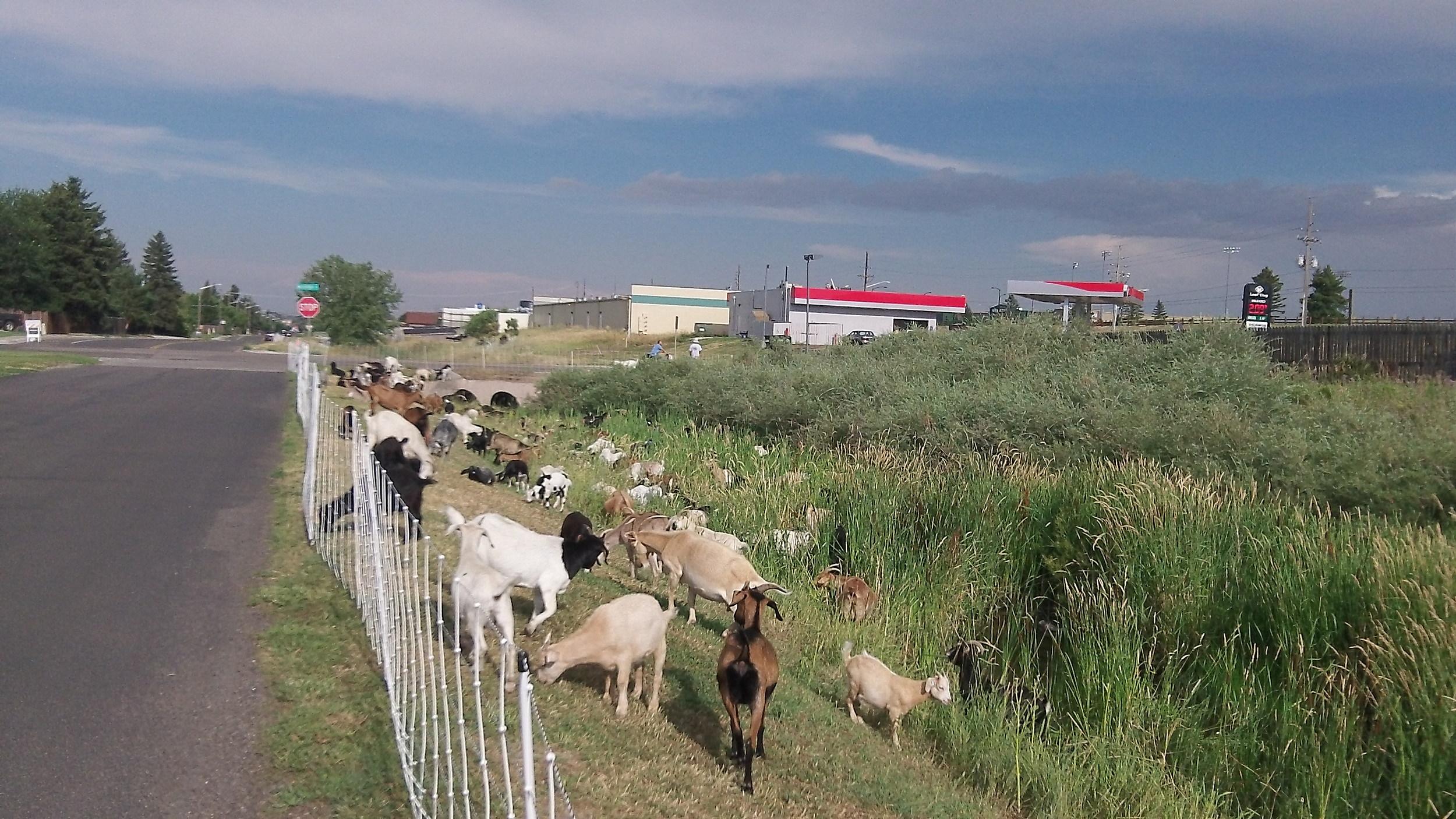 Goats Cheyenne, Photo By Glenn Woods
