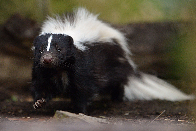Flo The Skunk Arrives At Edinburgh Zoo
